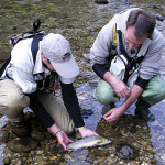 Care fully releasing Brown trout