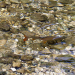 Grayling of the Sava Bohinjka, October