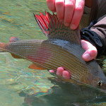 grayling-slovenia