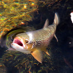 marble-trout-slovenia