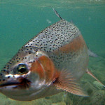 rainbow-trout-slovenia