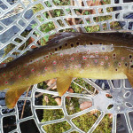 Beauty of brown Trout - Radovna river - Slovenia