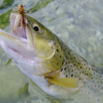 Month May - Sava Bohinjka.. brown trout goes frenzy for the stimulators!