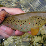 Beautiful as she could be - Radovna river`s Brownie