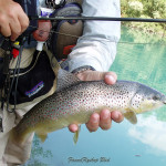 Brown trout from the Sava Dolinka river