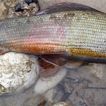 Grayling of 52cm!