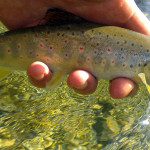 Brown trout in Radovna river are not huge.. super cold water makes them gaining in size very slowly