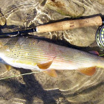 The Grayling. Thymallus-thymallus. Many different types of them around the world. Sava Bohinjka is a home of the nicest ones - Adriatic river basin type. See a significant red bait mark on the side. He is a great fighter and makes spectacular jumps while hooked. Feeds only on flies and insects. That makes him a very hard target some times. At this point we strongly encourage all fly fisherman to treat them with a great care! They are very sensible to skin injuries or dry-time exposures. Use CATCH&RELEASE landing nets when possible.