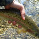 Small but full of power! Rainbow trout - Radovna river Slovenia