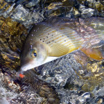 Maximum what a dry fly fisherman can ask for