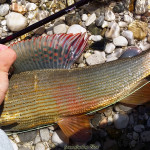 Awesome colour of Grayling
