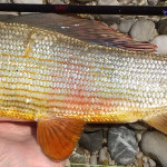 Slovenia Grayling